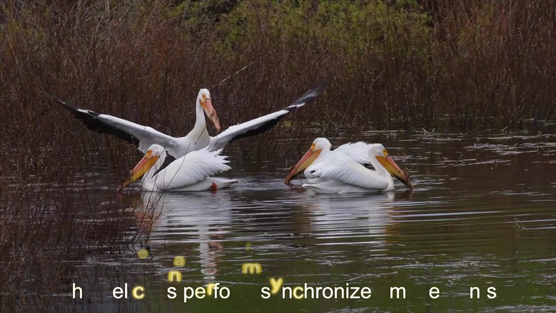 VIDEO II:  Watch these graceful pelicans as they swim and fish together in perfect harmony.