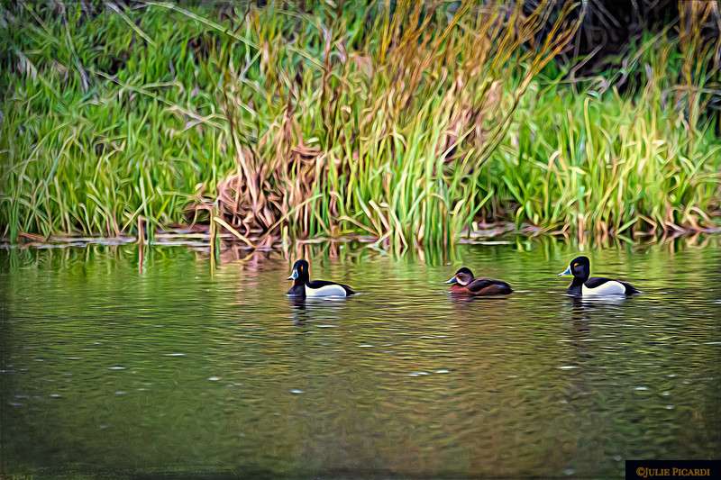 Two Golden Eye Ducks and a Cinnamon Teal thrown in for good measure. These guys are Very camera shy. Pond near Jackson Lake Dam, May 2018.