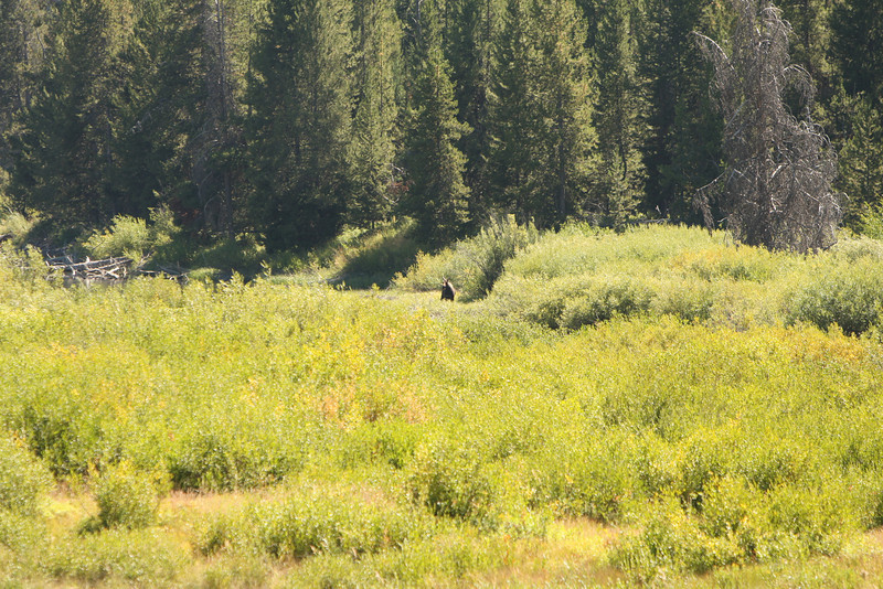 It is hard to see, but there  is a moose in the center of the picture.  He was feeding in a marsh area on the Snake River.