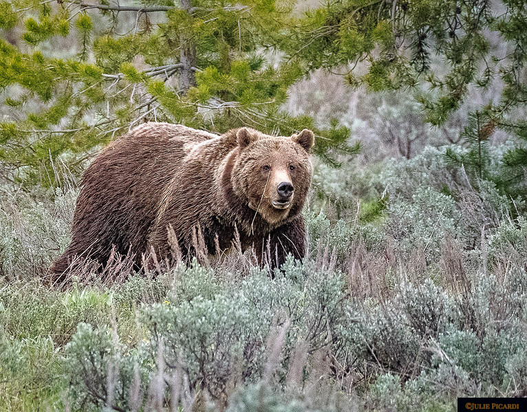 Grizzly Bear #399, the most prolific and oldest mama bear in the history of Grand Teton National Park. She is still producing cubs, often twins and triplets, at the age of 23.