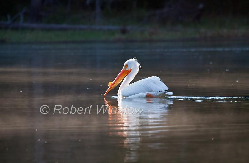 American White Pelican, Pelecanus erythrorhynchos, Snake River, Grand Teton National Park, Wyoming, USA, North America