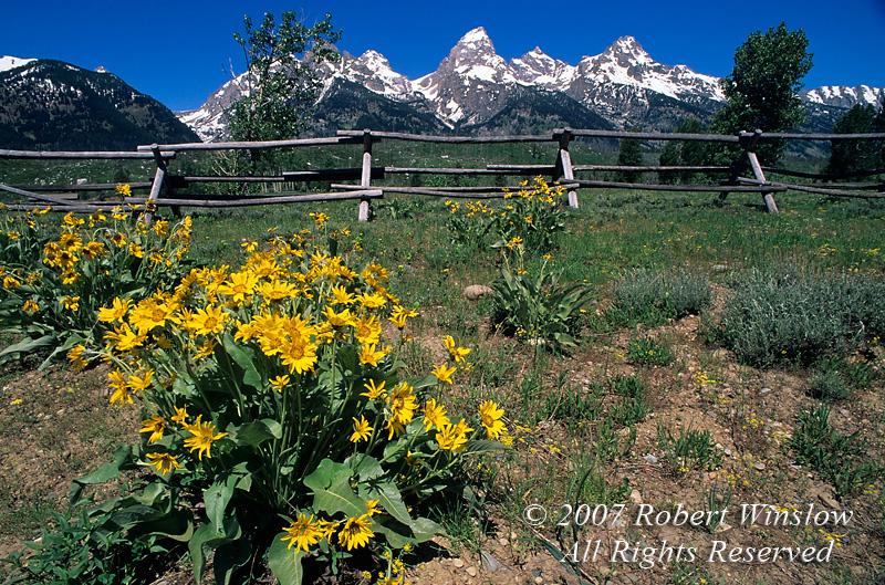 Grand Tetons with Arrowleaf Balsamroot (Balsamorhiza sagittata) in foreground, Grand Teton National Park, Wyoming, USA, North America