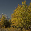 Aspens in the Fall