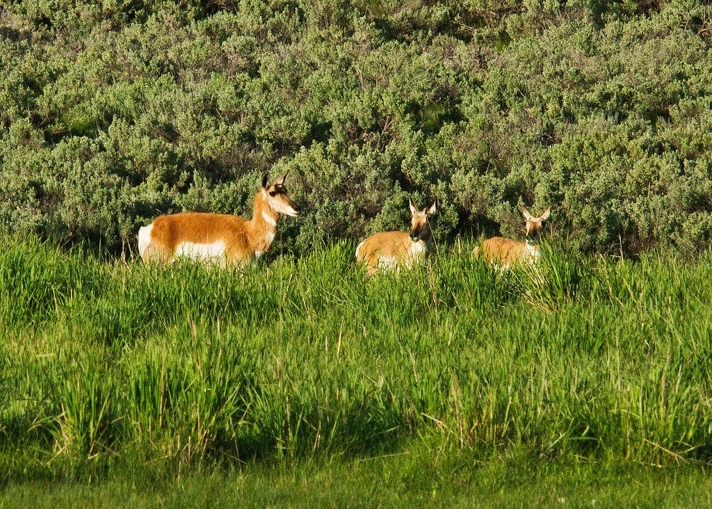 Pronghorn three