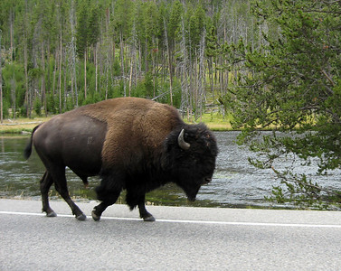 BIG bull Bison on the road