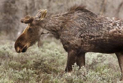 Bull Moose Grand Teton National Park