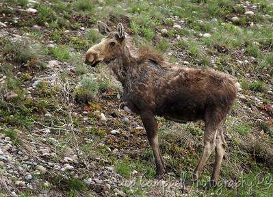 Female Moose Grand Teton National Park