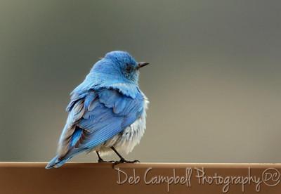 Male Mountain Bluebird Grand Teton National Park