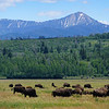 Bison and deer grazing at Elk Ranch Flats in Yellowstone