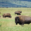 Bison grazing at Elk Ranch Flats in Yellowstone Yellowstone National Park