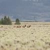 Elk, I think.