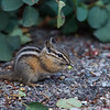 Chipmunk in Grand Tetons