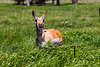 "Pronghorn, due to their unique biology, don't generally jump fences like elk or deer. They crawl under them. Pronghorn evolved in the Pleistocene when they were prey for speedy cheetahs and hyenas. Thus the pronghorn's current status as the fastest land animal in North America is, in the words of pronghorn researcher John A. Byers, a ""ghost of (these) predators past."" With an ability to run at 30 mph indefinitely with top speeds pushing 60 mph, they simply outran everything.<br /> <br /> So as populous as pronghorn appear in many places in the west, they are strangely ill-adapted to the modern world where private lands, and many public lands, are fragmented by fences and development. These ""new threats"" not only restrict their greatest asset to escape predators but also their ability to migrate over long distances required to find adequate snow-free habitat and forage.<br /> <br /> Needing Room to Roam<br /> <br /> Our national parks are integral parts of a larger landscape and are deeply connected and vital to the health of surrounding wild lands and gateway communities. In the Greater Yellowstone ecosystem, Yellowstone National Park's 2.2 million acres serve as the core for a diversity of wildlife species that spend part of the year inside the park. As wildlife move from one place to another they do not distinguish between state, federal and private land; they go where there is habitat. Conserving pronghorn migration on public and private lands outside of the Yellowstone National Park offers the last best hope for this iconic species.<br /> On the Ground Solutions"