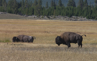 Bison in Hayden Valley.