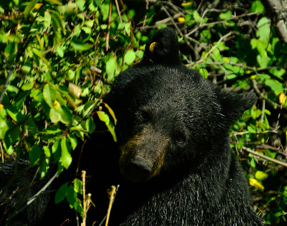 black bear in the berry bushes, about 30 ft away