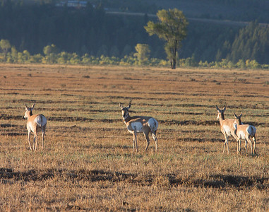 a small herd of pronghorn antelope