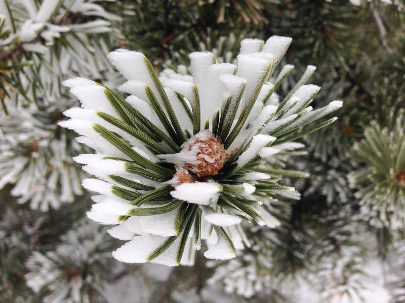 Cold Pine