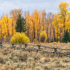 Cottonwood Fall Color in Grand Teton NP