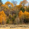 Fall Color Aspens