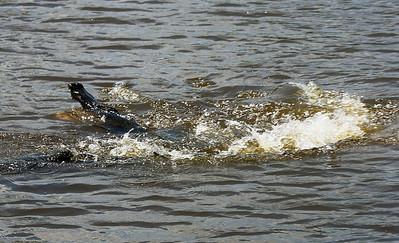 Two Alligators erupt in combat over territory.