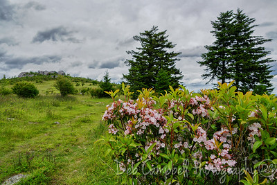 Rhododendron at Wilburn Ridge