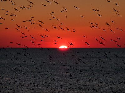 Brighton, flocks of starlings at sunset