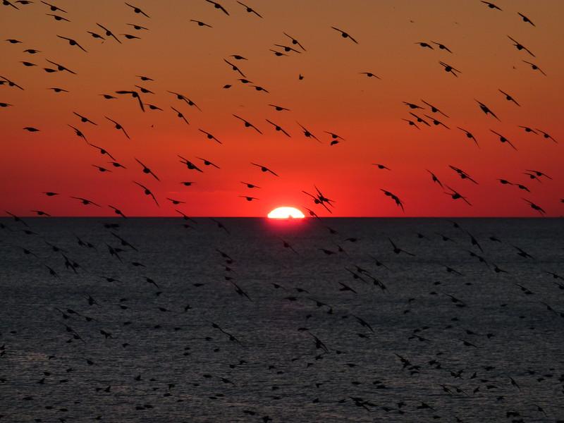 Brighton, flocks of starlings at sunset