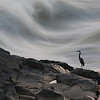 Blue Heron at Great Falls National Park