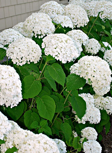 Hydrangeas near the Carriage House at the Cranwell Resort, Spa, and Golf Club