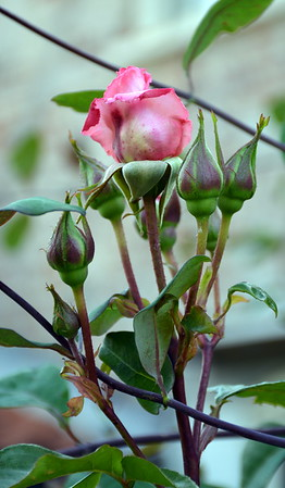 Rose at Washingford House