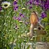 Roger's rabbit  (in Loveland, CO).