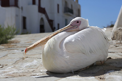 Pelican at the restaurant!