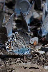 Greek subspecies of Mazarine Blue near Papingo Cv180 ->50% crop