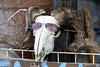 Cretan goat 2: near Komitades, Crete, 28 December 2009.    Here's looking at you kid!  (I'll get my coat...)