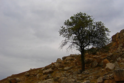 Puu Mykenessä, 2004. The tree at Mycenae.