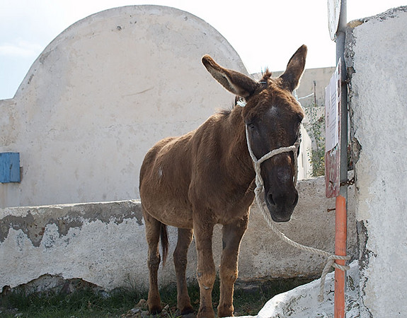 One of the many donkeys on Santorini. Tourists can ride the donkeys up from the port, Fira Skala. Tourists should also be advised to watch out for donkey droppings.