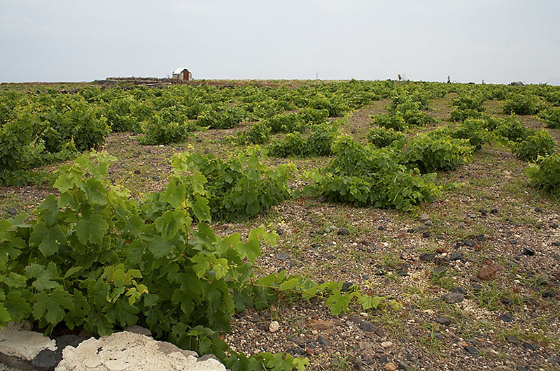 A vineyard between the beach and our hotel. Too bad we can't carry any liquids back to the States. The island is famous for its wines, tomatoes and romantic charm.