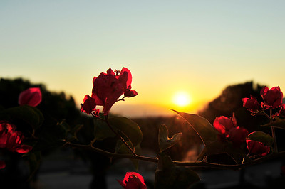 Sunrise over bougainvillea.