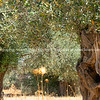 Olive grove with ancient trees