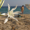 Flower in the sand. Sithonia Penisula, Greece