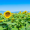 Fields of sunflowers on Greece's fertile cropping plains