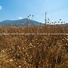 Dried dead field of milk thistleunder blue sky