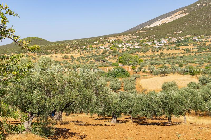 Olive tree grove.