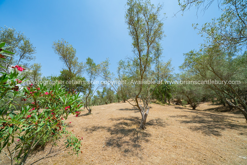 New olive trees in  orchard