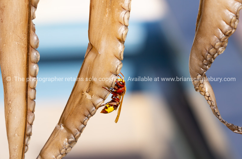 Hornet on drying octopus tentacles
