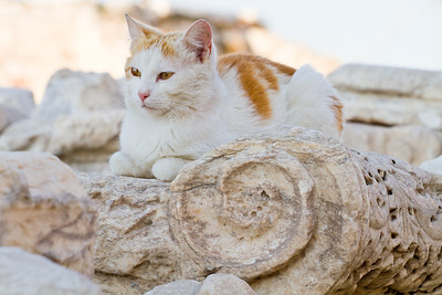 Cat Acropolis Athens, Greece