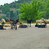 Greece, goats on mountain road-2
