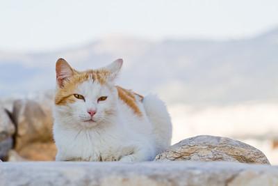 Cat Acropolis Athens, Greece