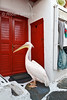 Pelican, walking, Looking for Food, Mascot of Mykonos,  Island of Mykonos, Cyclade Islands, Aegean Sea, Greece