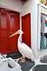 Pelican, walking, Looking for Food, Mascot of Mykonos,  Island of Mykonos, Cyclade Islands, Aegean Sea, Greece